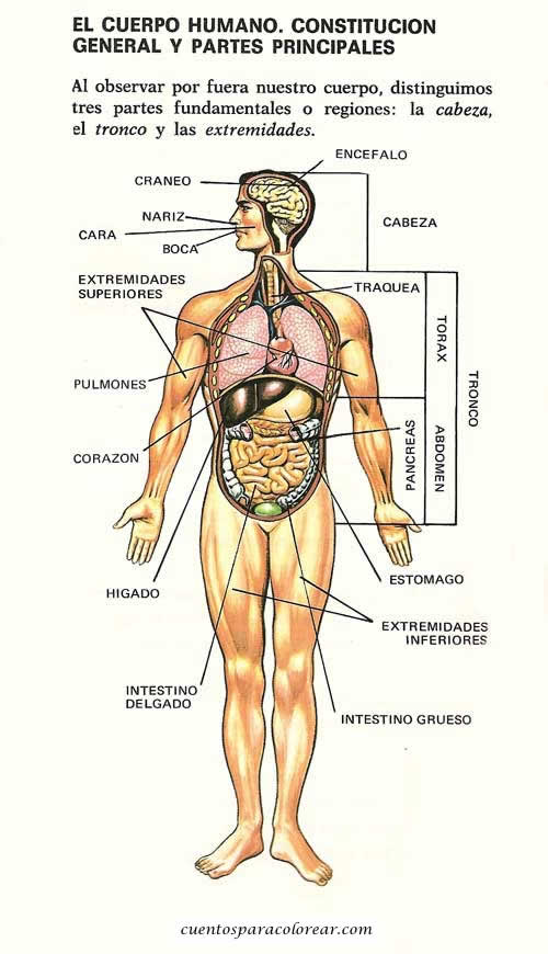 Fichas educativas del cuerpo humano